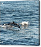 Whale Watching And Dolphins 1 Acrylic Print