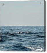 Whale Watching And Dolphins 2 Acrylic Print