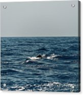 Whale Watching And Dolphins 3 Acrylic Print