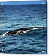 Whale Watching Balenottera Comune 3 Acrylic Print