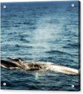 Whale Watching Balenottera Comune 5 Acrylic Print