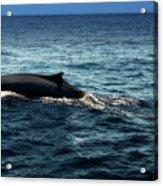 Whale Watching Balenottera Comune 6 Acrylic Print