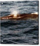 Whale Watching Balenottera Comune 7 Acrylic Print
