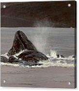 Whales Feeding Acrylic Print