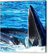 Whale's Opening Mouth Acrylic Print