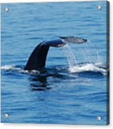 Whales Tale Acrylic Print by Lisa Kane