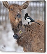 What Did You Say Acrylic Print
