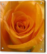 What Is In A Rose? Acrylic Print