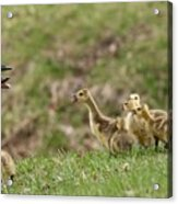 What? What? Acrylic Print