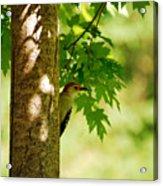 Whats A Woodpecker To Do Acrylic Print