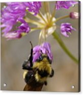 What's The Buzz Acrylic Print