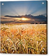 Wheat At Sunset Acrylic Print by Meirion Matthias