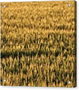 Wheat Beards Acrylic Print