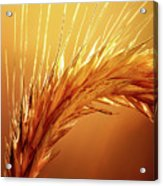 Wheat Close-up Acrylic Print
