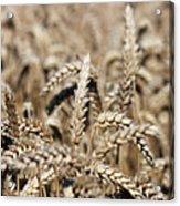 Wheat Close Up Summer Season Acrylic Print