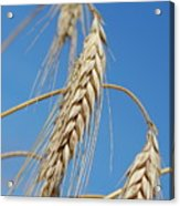 Wheat Crop Acrylic Print
