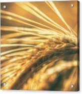 Wheat Ear Acrylic Print
