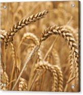 Wheat Ears 1 Acrylic Print