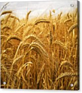 Wheat Acrylic Print by Elena Elisseeva