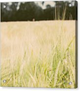 Wheat Field Closeup Acrylic Print