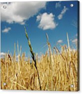 Wheat On The Rhine Acrylic Print