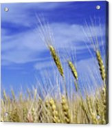 Wheat Trio Acrylic Print