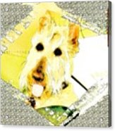 Wheaten Scottish Terrier - During Sickness And Health Acrylic Print