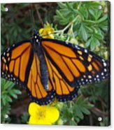 When The Rain Clears Monarch Butterfly Acrylic Print