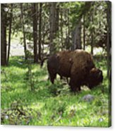 Where The Bison Roam Acrylic Print