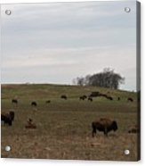 Where The Buffalo Roam 2 Acrylic Print