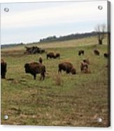 where the Buffalo Roam 3 Acrylic Print