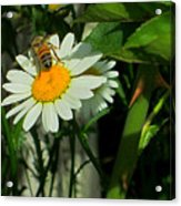 Where The Daisies Are Acrylic Print by Guy Ricketts
