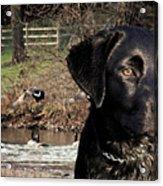 Where's The Geese Labrador 4 Acrylic Print