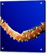 Whip Coral Gobi Acrylic Print