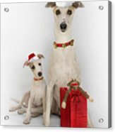 Whippet Christmas Acrylic Print by John Clum