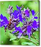 Whirly Bird Salvia In Rancho Santa Ana Botanic Garden In Claremont-california Acrylic Print