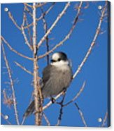Whiskey Jack Perched On A Winter Larch  Acrylic Print