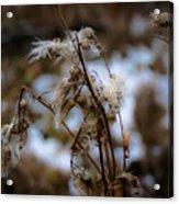 Whisp Of Winter Acrylic Print