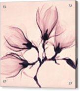 Whisper Magnolia Acrylic Print