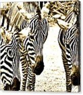 Whispering Zebras Acrylic Print