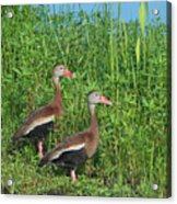 Whistling Ducks Acrylic Print