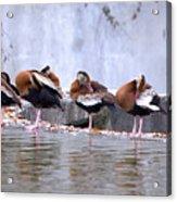 Whistling Ducks Grooming Acrylic Print
