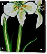 White Amaryllis Acrylic Print