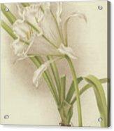 White Amaryllis   Ismene Andreana Acrylic Print
