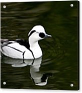 White And Black Duck Acrylic Print