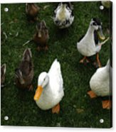 White And Brown Ducks Acrylic Print