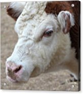 White And Brown Heifer Dairy Cow Acrylic Print