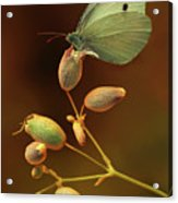 White And Green Butterfly On Dried Flowers Acrylic Print