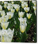 White And Pale Yellow Tulips In A Bulb Garden Acrylic Print