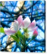 White And Pink Apple Blossoms Against A Blue Sky Acrylic Print